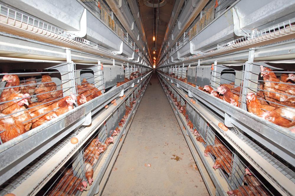 Manajemen Pemeliharaan Ayam Layer
