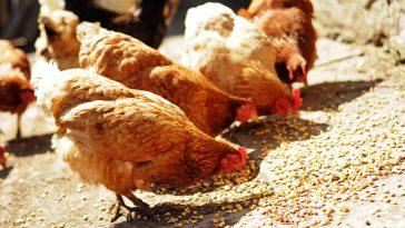 Hasil Ternak Ayam