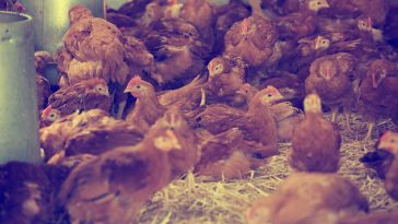 ayam layer berkualitas
