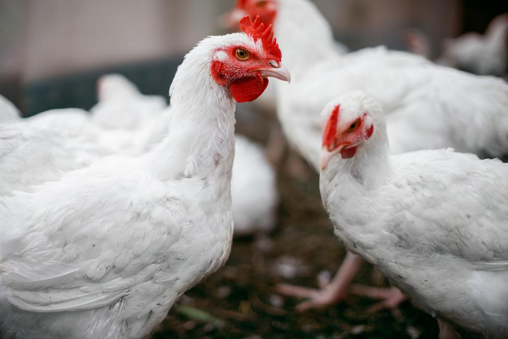 Daging Ayam Broiler Terbaik