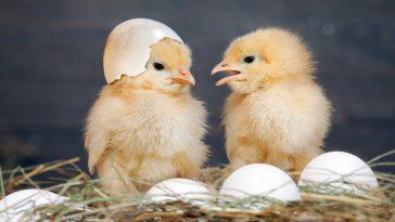 Memilih DOC Ayam Broiler