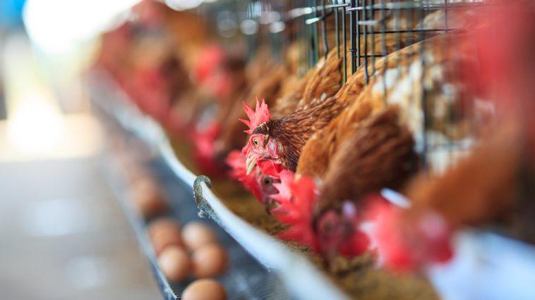 Ternak Ayam Petelur