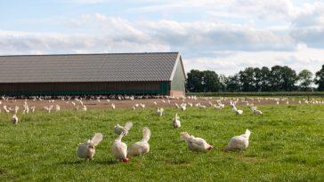 Cara Berternak Ayam