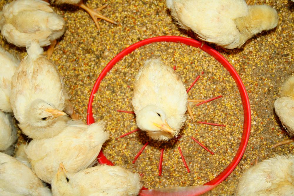 Daging Ayam Broiler