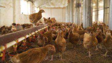 Mengoptimalkan Pakan Ayam