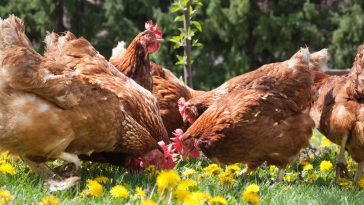 Tips Ternak Ayam Petelur