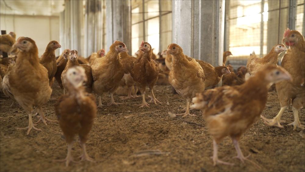 Manajemen Pemeliharaan Ayam