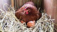 Risiko Ternak Ayam Petelur