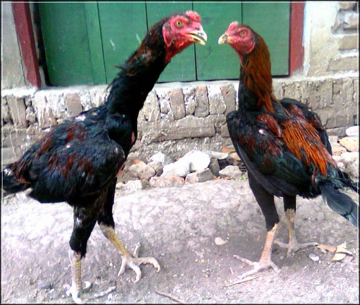 Racikan Pakan Ternak Ayam Bangkok Alternatif Paling Hemat