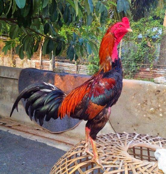 Ternak Ayam Birma
