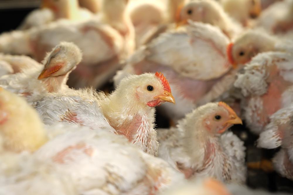 Cara Ternak Ayam (2)