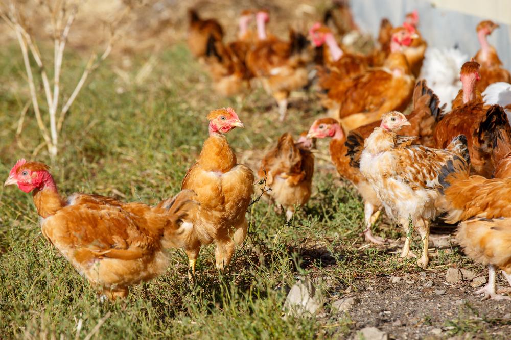 6 Cara Ternak Ayam Potong agar Mendapatkan Hasil Maximal
