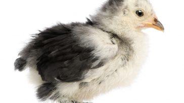 Ciri DOC Ayam