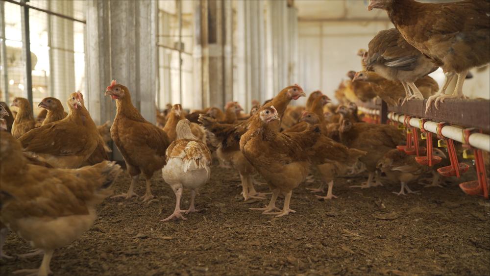 5 Ciri Pakan Ayam Layer yang Bagus dan Berkualitas