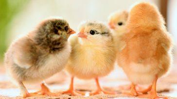 DOC Ayam Kampung Berkualitas