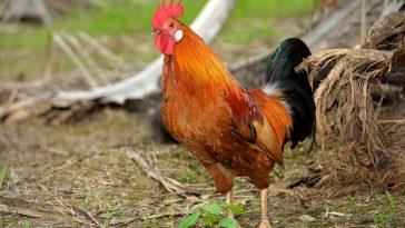 Ayam Layer Jago