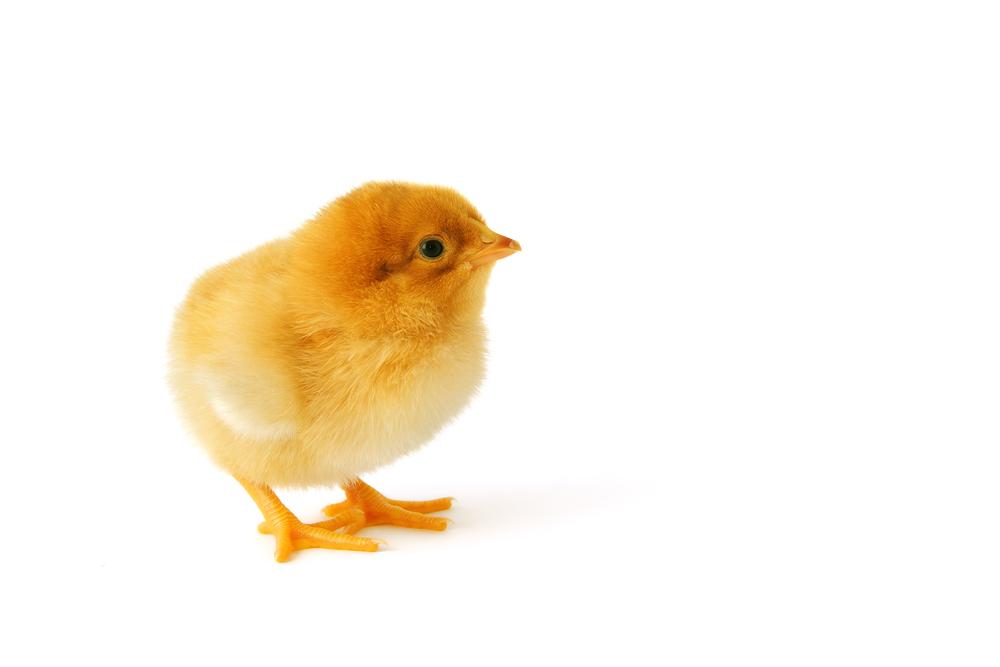DOC Ayam Broiler Berkualitas Tinggi