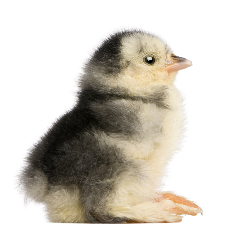 Pemeliharaan DOC Ayam
