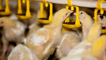 Tips Pembuatan Kandang Ayam