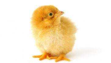 Tips Menghasilkan DOC Ayam
