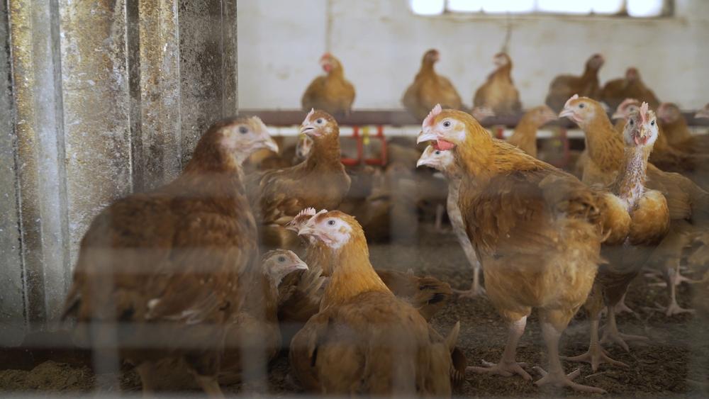 Tips Pemberian Pakan Ayam Layer
