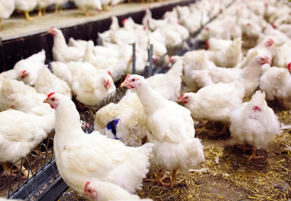 Cara Memilih Jenis Pakan Ayam Broilers Yang Tepat