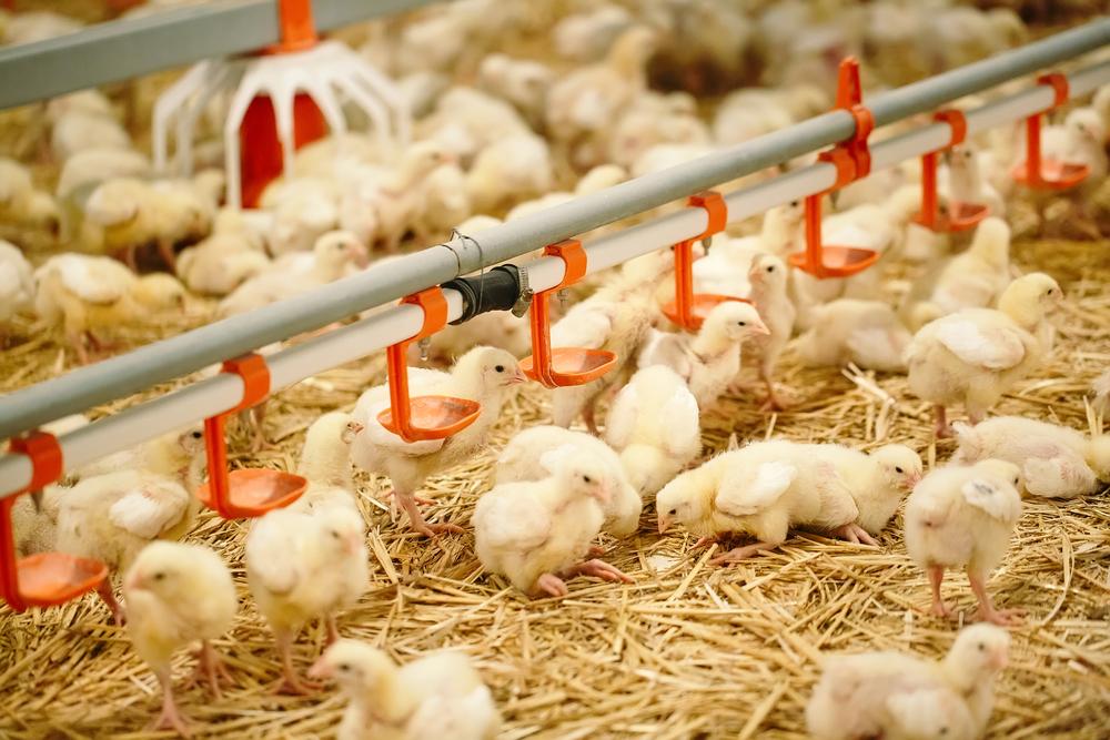 Breeder Ayam Broiler