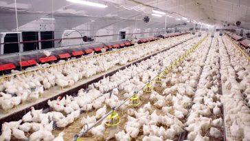Plus Minus Bisnis Ayam