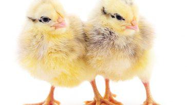 DOC Ayam Dehidrasi