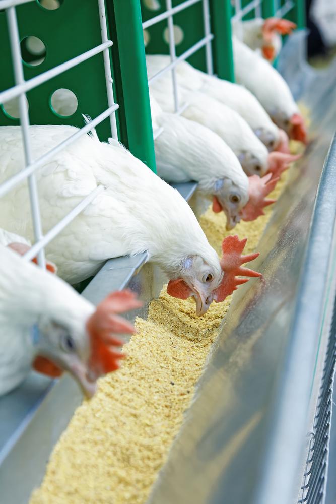 Jenis Peternakan Ayam Broiler