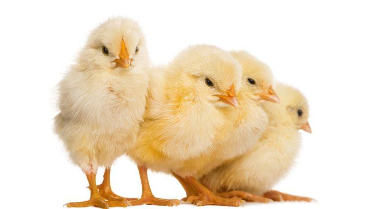 day old chicken