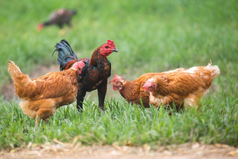 Berternak Ayam Kampung