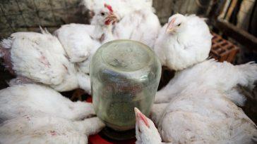Kesalahan Budidaya Ayam Broiler