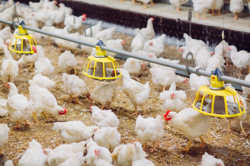Pakan Ayam Jenis Broiler