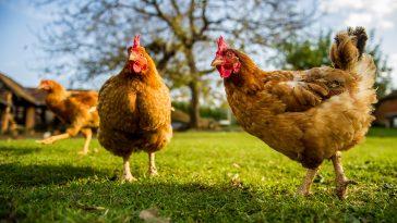 Ternak Ayam Broiler Mandiri