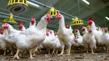 Analisa Ternak Ayam Petelur