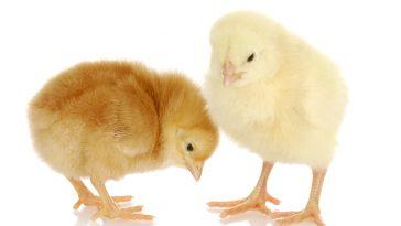 DOC Ayam Petelur Berkualitas Super