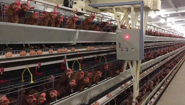 Mendeteksi Ayam Layer Betina