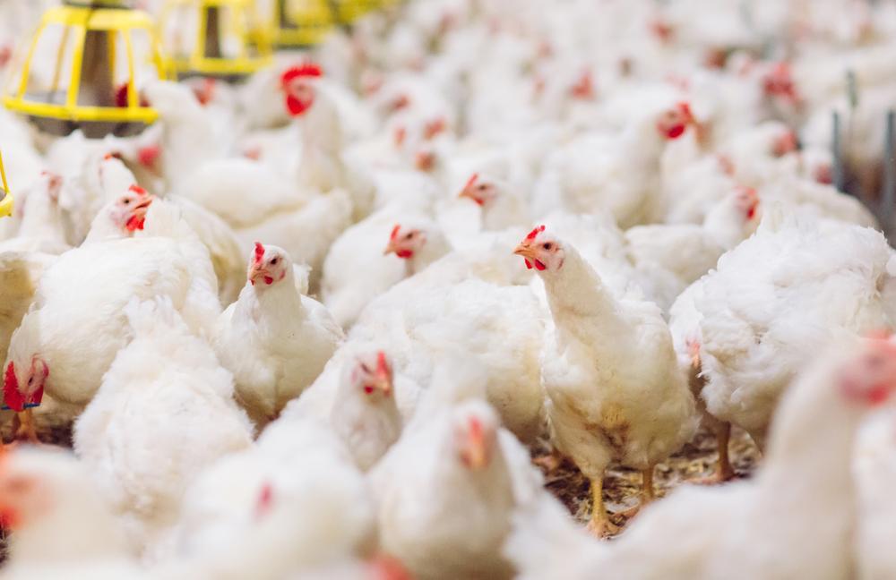 Cara Budidaya Ayam Broiler Organik dan Kelebihannya