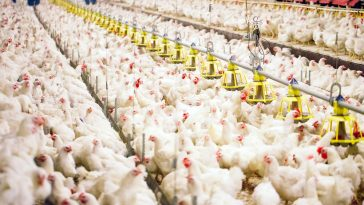 Tips Menentukan Ukuran Kandang Ayam Broiler