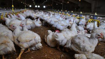 Peternakan Ayam Broiler Komersial