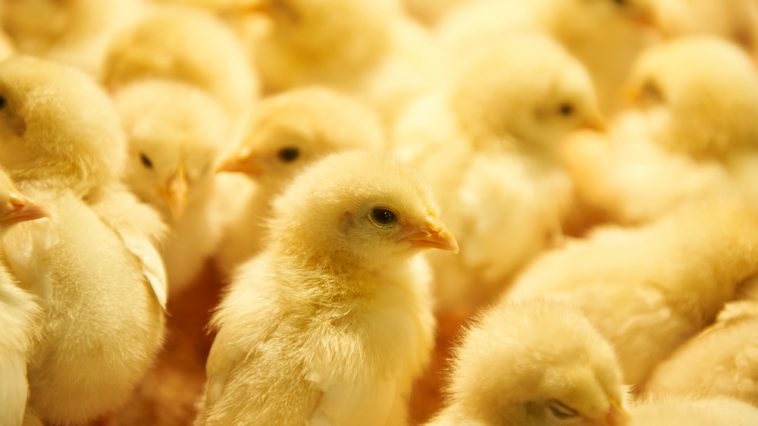Cara Merawat DOC Ayam Petelur