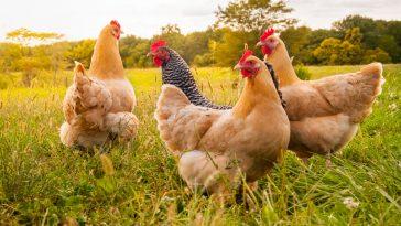 Manajemen Pemeliharaan Ayam Petelur