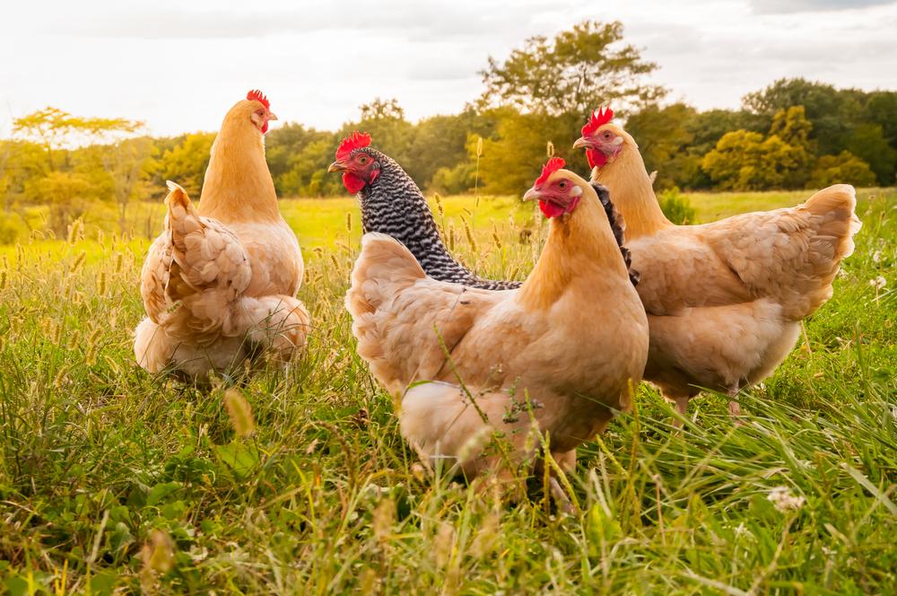 4 Manajemen Pemeliharaan Ayam Petelur Fase Layer Terpenting