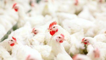 Pencegahan Penyakit Ayam Broiler