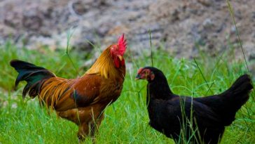 ayam kampung dan ras