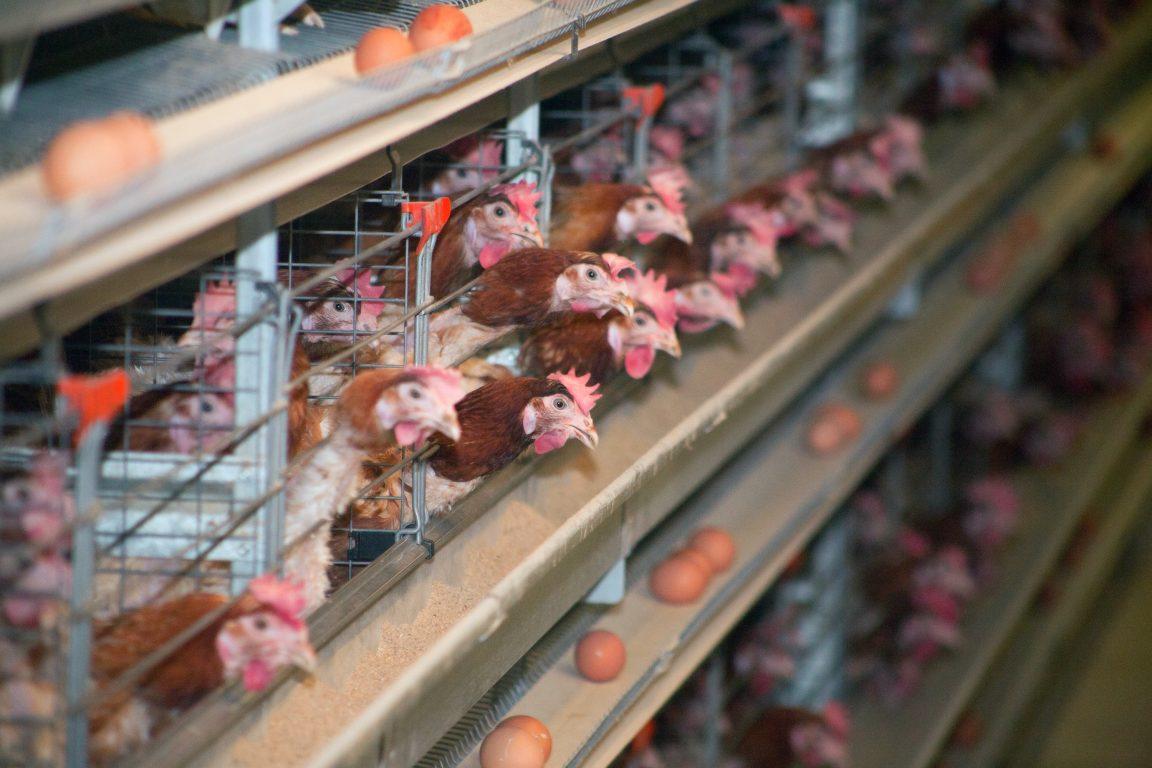 ayam petelur rumahan