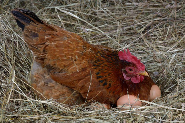 ayam petelur tanpa kandang
