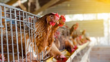 keuntungan ternak ayam potong