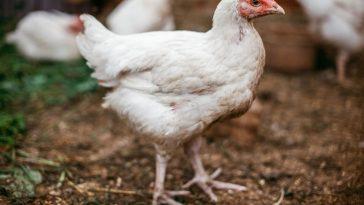 ternak ayam potong cepat panen
